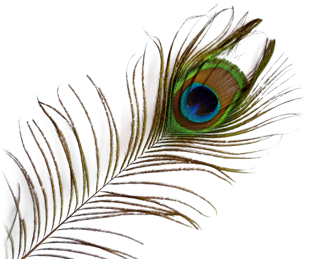 Peacock Feather PNG Image.