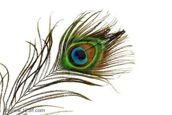 Clip Art of Peacock Feathers.