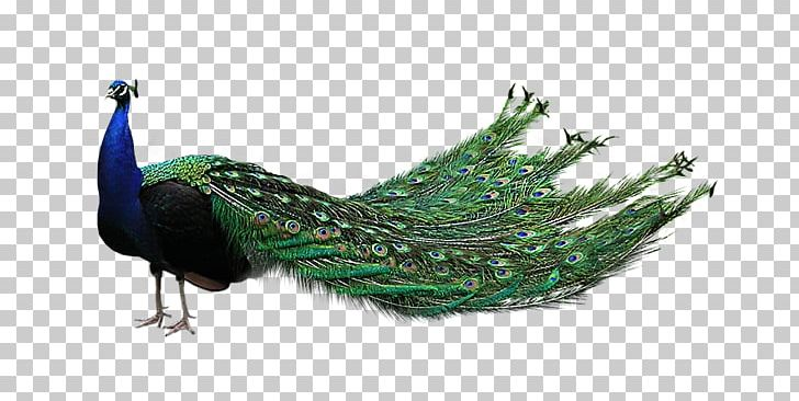Peacock PNG, Clipart, Peacock Free PNG Download.