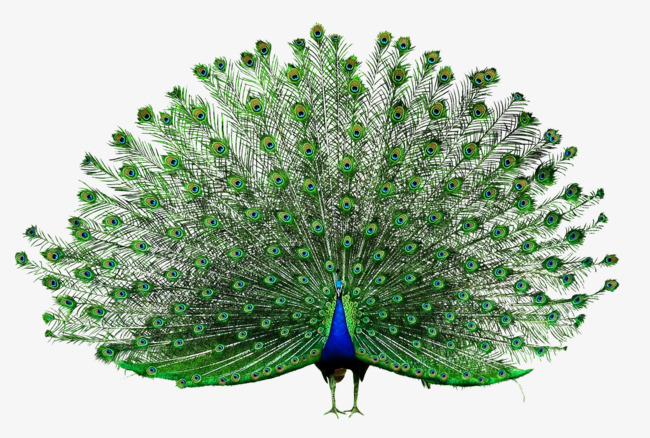 Peacock PNG Images.