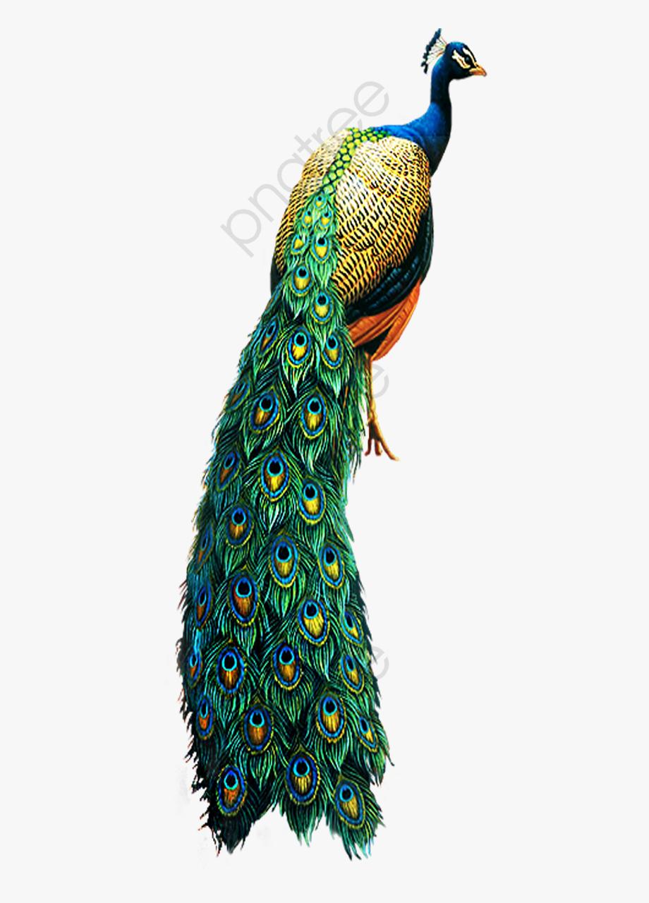 Peacock Clipart Bird.
