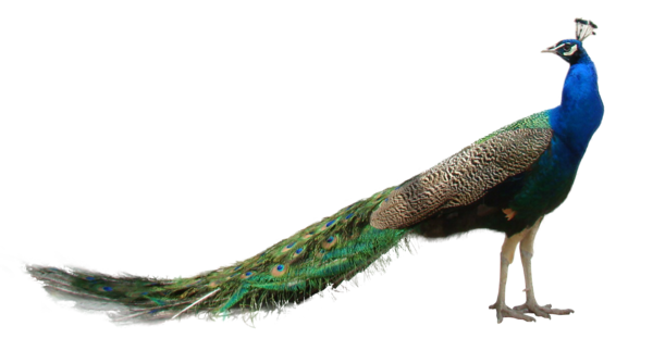 Peacock PNG HD Transparent Peacock HD.PNG Images..