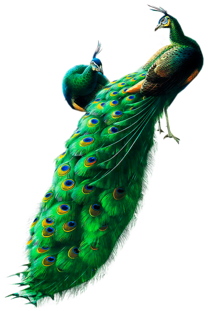 Peacocks PNG Clipart.