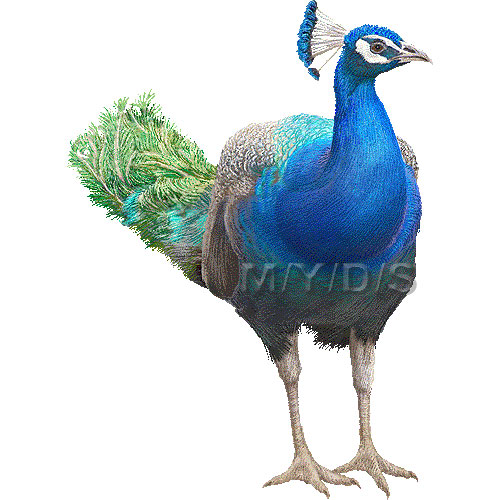 Indian Peafowl, Blue Peafowl clipart graphics (Free clip art.