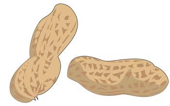 Peanut Clipart.