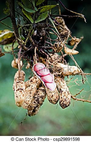 Stock Photographs of Peanut Harvest, India csp29891598.