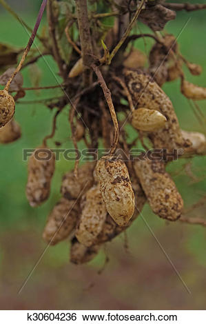 Stock Images of Peanut Harvest, India k30604236.