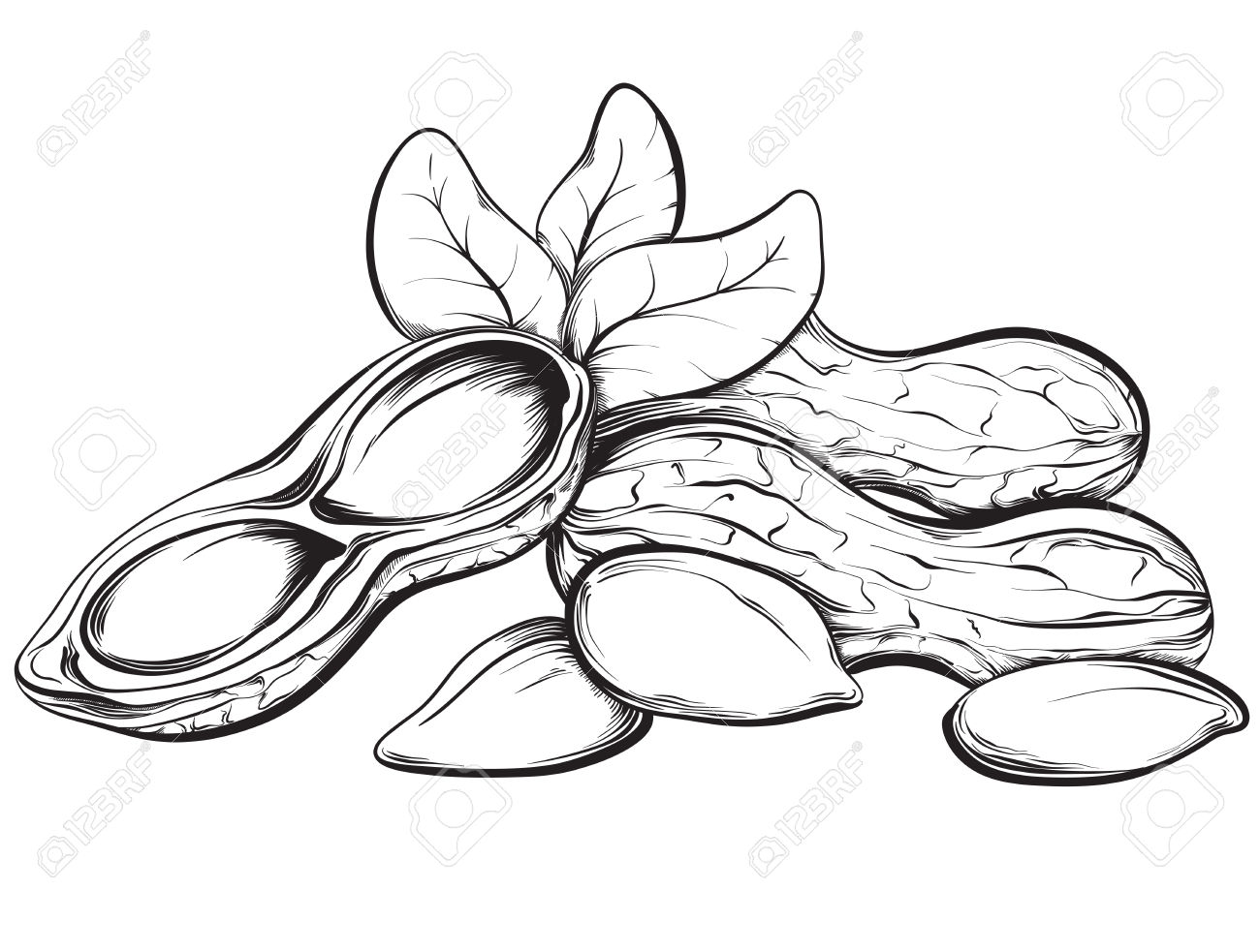 Peanuts. Hand Drawn Sketches Vector Illustration On White.