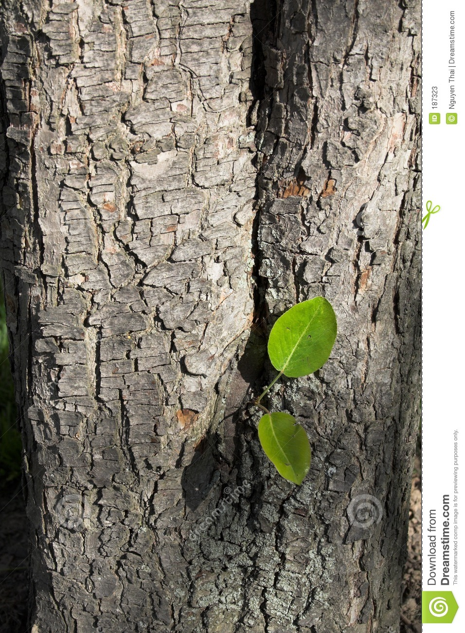 Bark Of A Pear Tree Stock Photos.