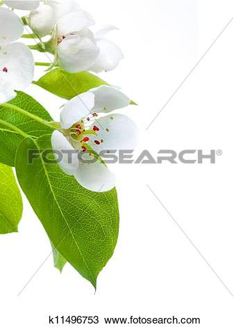 Stock Photo of Pear Blossom Border k11496753.