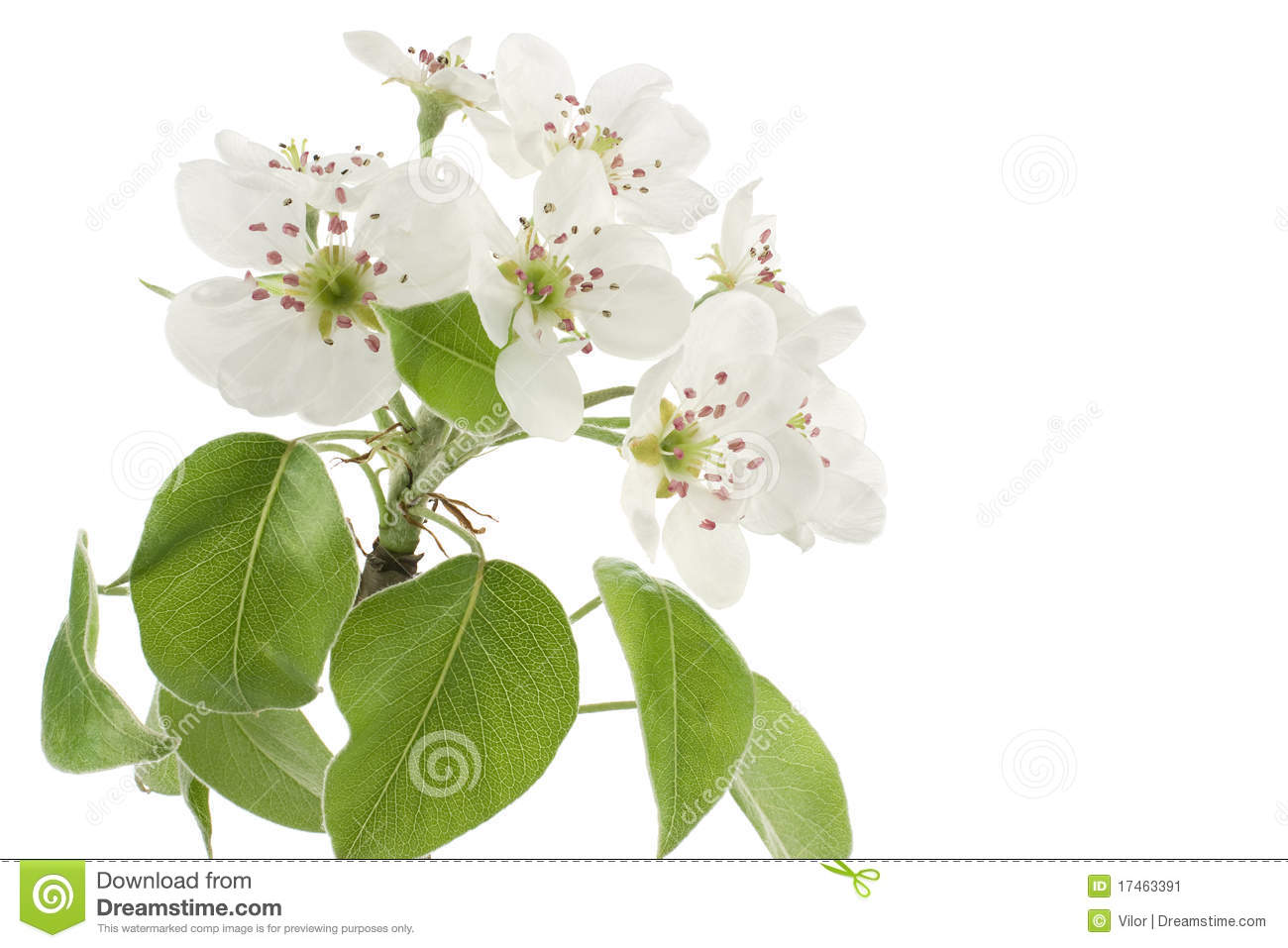 Pear Blossom Stock Image.