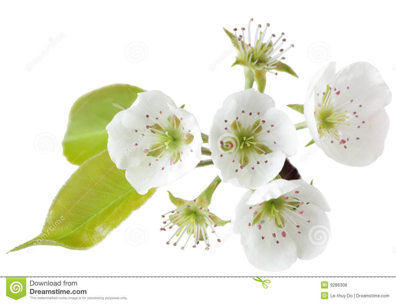 Pear Blossom Royalty Free Stock Images.
