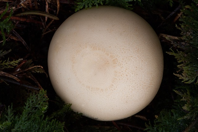 Free photo Mushroom Bottle Umbrinum Bottle Bovist Bovist.