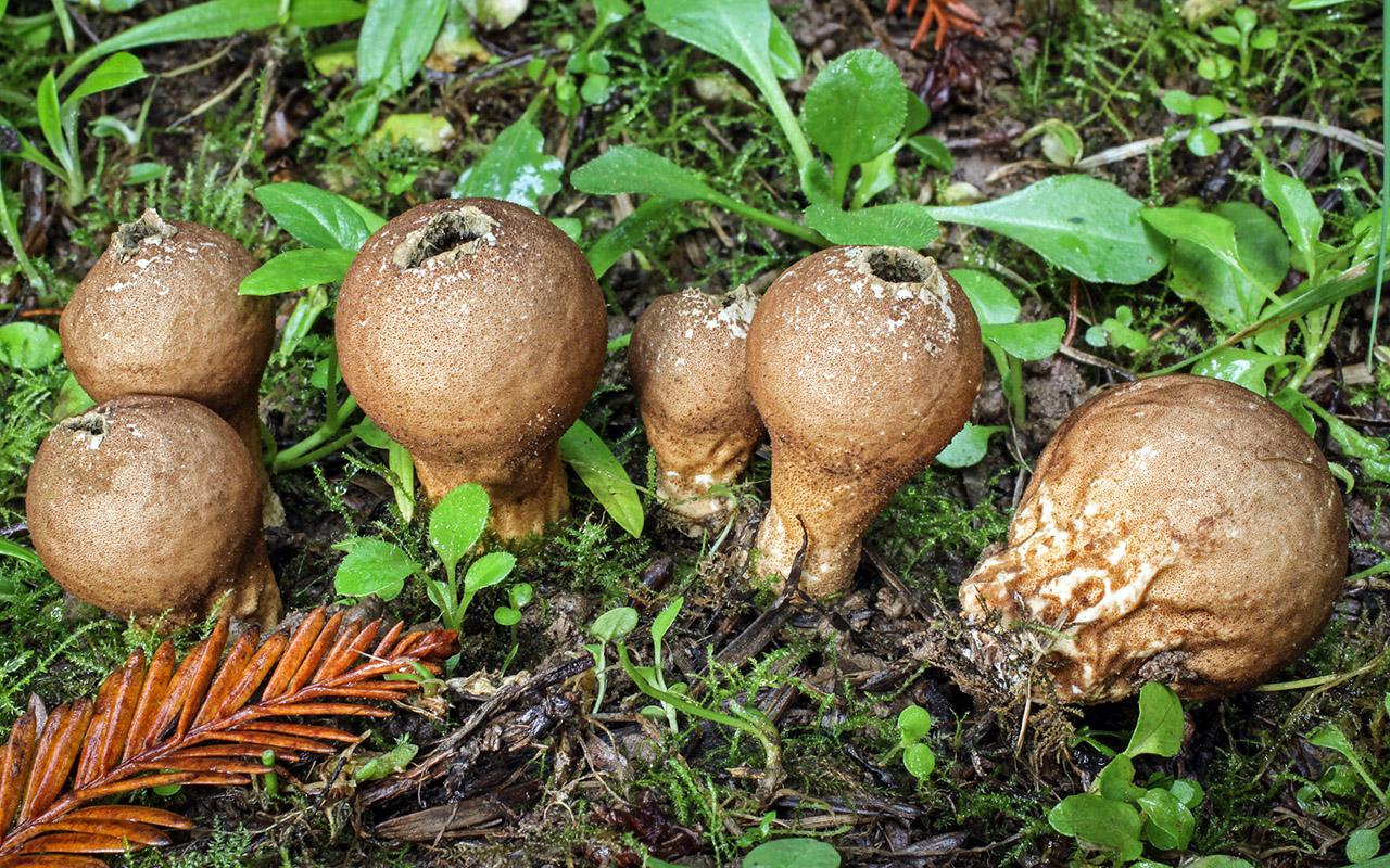 California Fungi: Lycoperdon umbrinum.