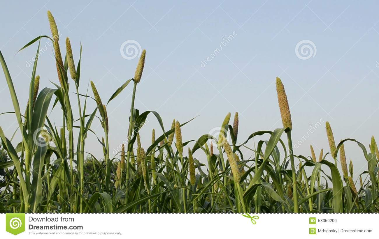 Pearl Millet Field Stock Footage.