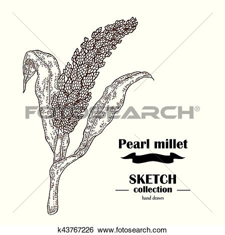 Clip Art of Pearl Millet sketch. Hand drawn cereal. Vector.