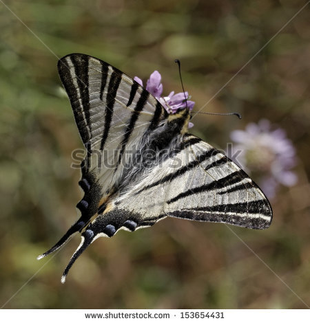 "butterfly Southern Swallowtail"" Stock Photos, Royalty."