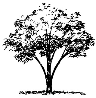 Pecan Tree Black And White Clipart.
