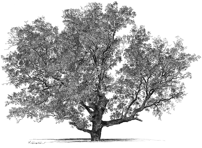 pecan tree clipart clipground