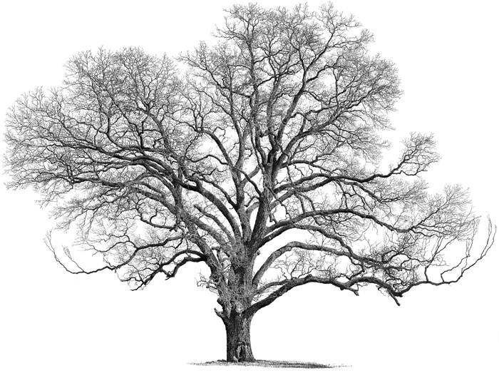 Pecan Tree Clipart.