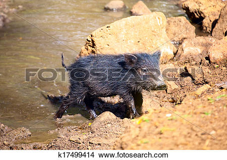 Stock Photo of Baby of Peccary k17499414.