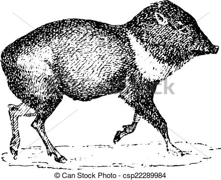 Peccary Illustrations and Stock Art. 12 Peccary illustration.