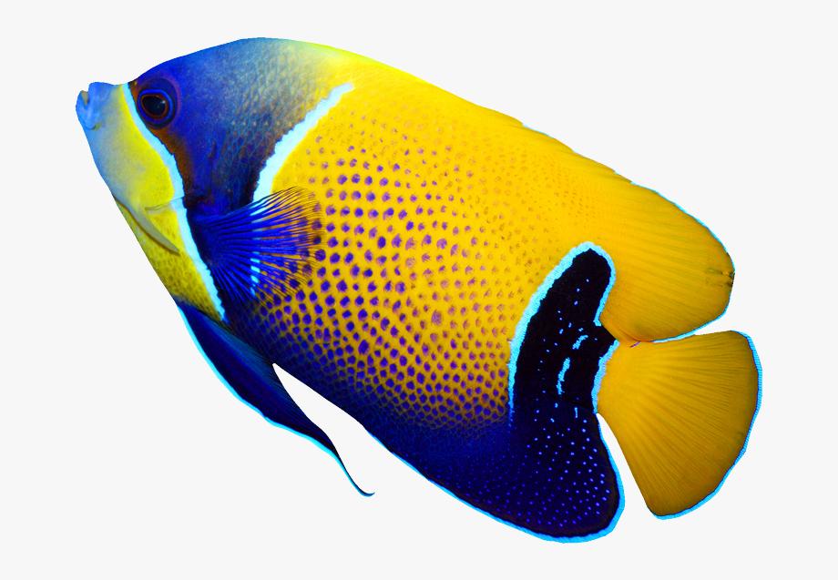 Pomacanthus Navarchus Emperor Angelfish Tropical Coral.