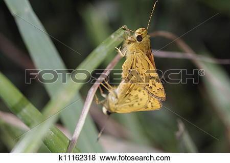 Stock Illustration of Skipper butterfly breeding k11162318.