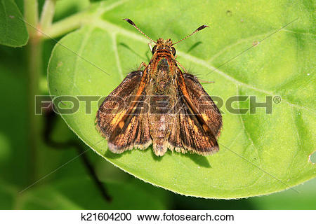 Stock Photography of Skipper Butterfly k21604200.