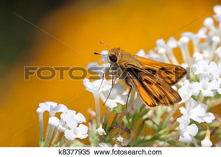 Stock Image of fiery skipper butterfly drinks nectar k8377935.