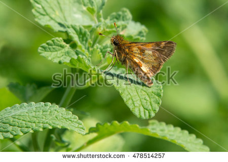 Skipper Butterfly Stock Photos, Royalty.