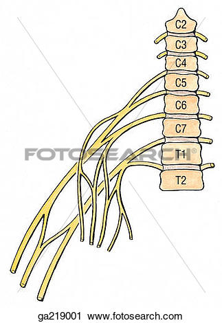 Clipart of Anterior view of innervation of nerves to pectoralis.