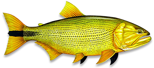 Dourado peixe clipart images gallery for free download.