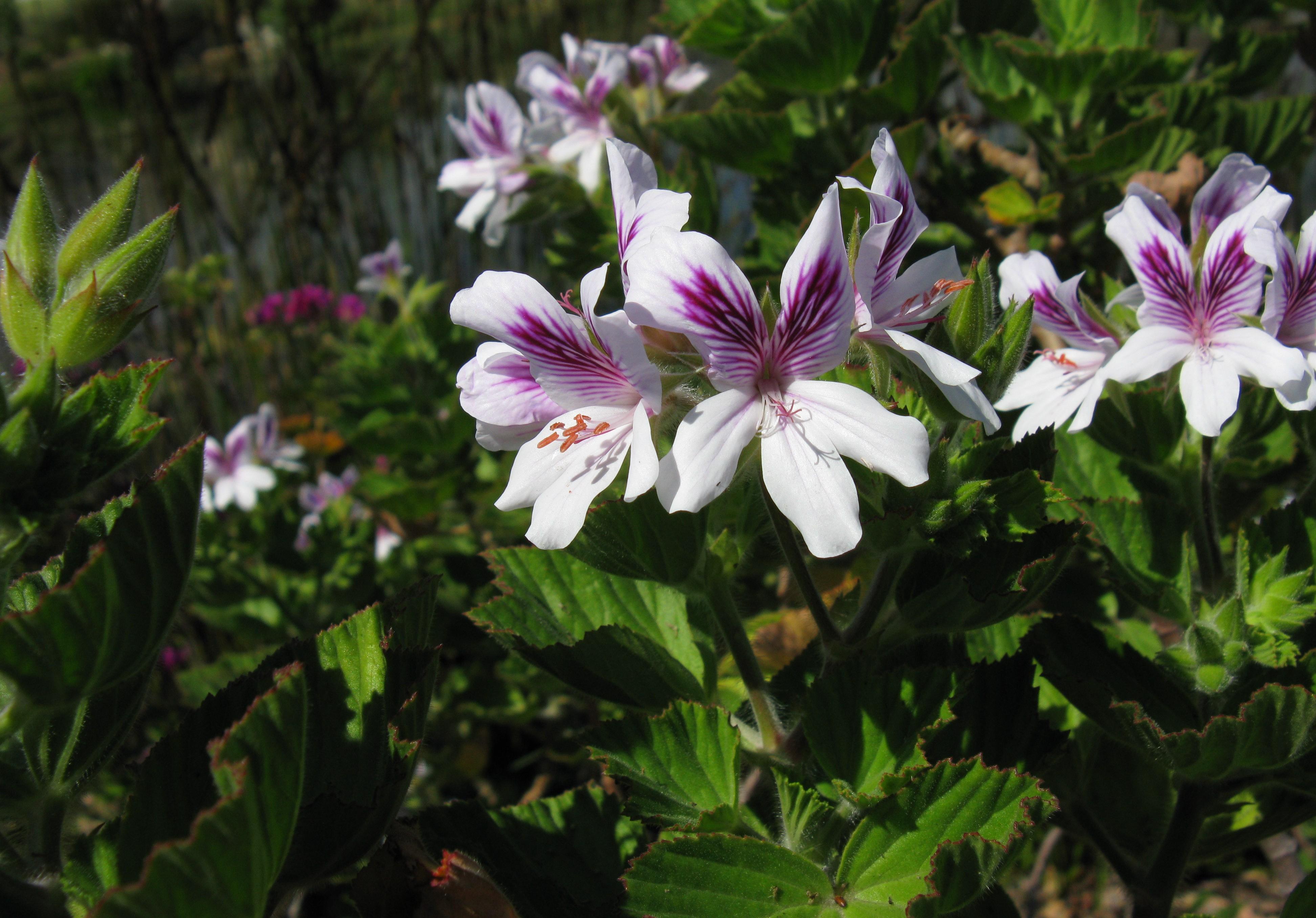 File:Geraniaceae Pelargonium cucullatum White.