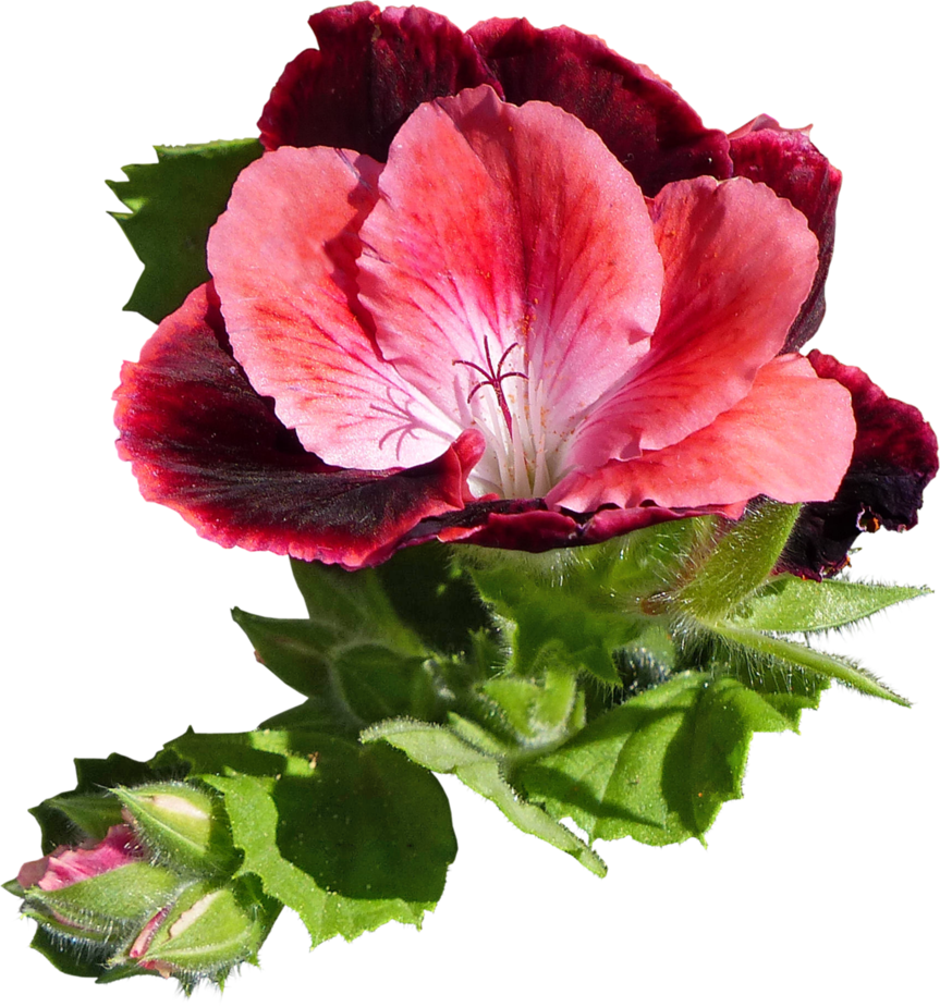 Pelargonium grandiflorum by hrtddy on DeviantArt.