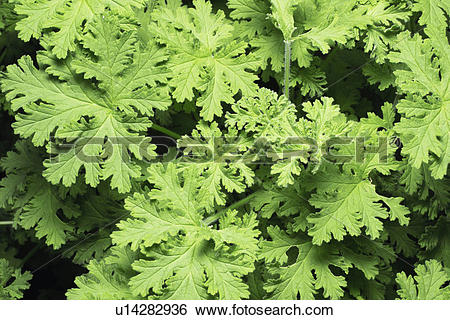 Stock Images of Pelargonium graveolens u14282936.
