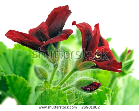 Hybrid Geranium Stock Images, Royalty.