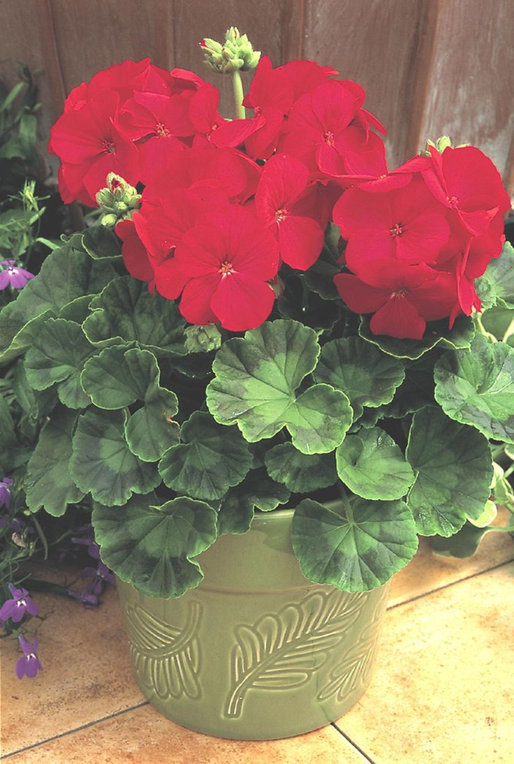 1000+ ideas about Red Geraniums on Pinterest.