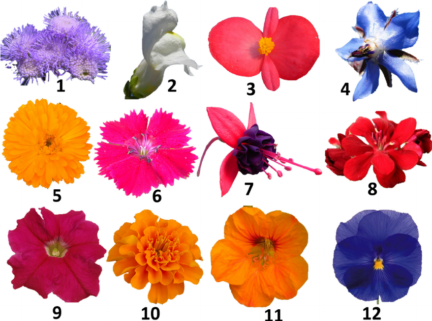 Morphology of the tested edible flowers: (1) Ageratum.