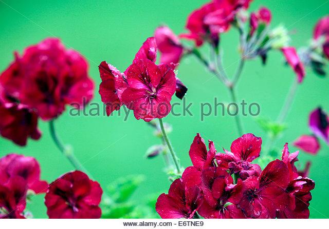 Pelargonium Zonale Stock Photos & Pelargonium Zonale Stock Images.