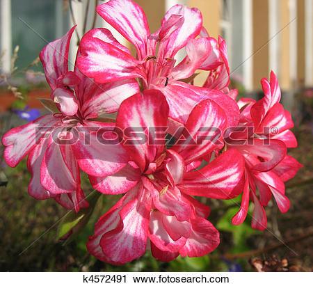 Stock Photography of Pelargonium peltatum k4572491.