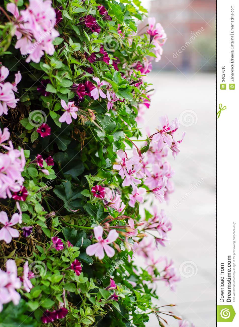 Cascade Geranium (pelargonium Peltatum) Stock Photo.