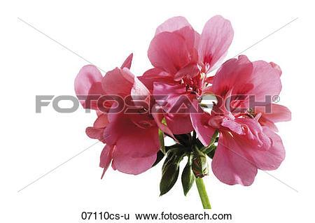 Stock Images of Geranium, Pelargonium peltatum, close.