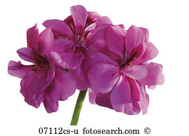Pelargonium peltatum Images and Stock Photos. 59 pelargonium.