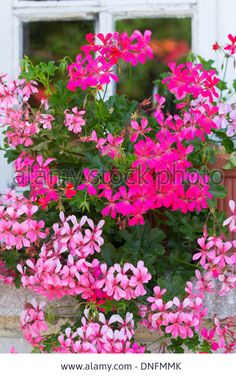 Summer Showers geraniums have a vigorous, upright habit so.
