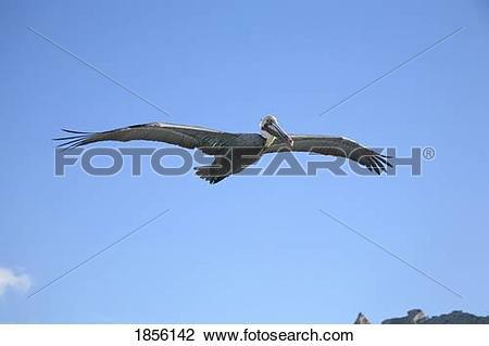 Stock Photo of A pelican (Pelecanidae) in flight 1856142.