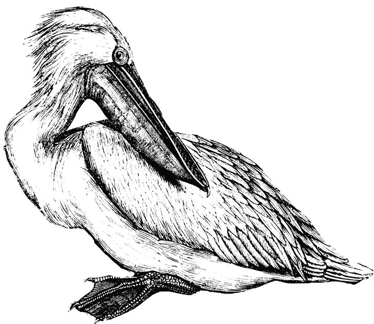 1000+ images about Pelican on Pinterest.