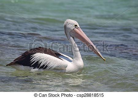 Stock Photography of Australian Pelican (Pelecanus conspicillatus.