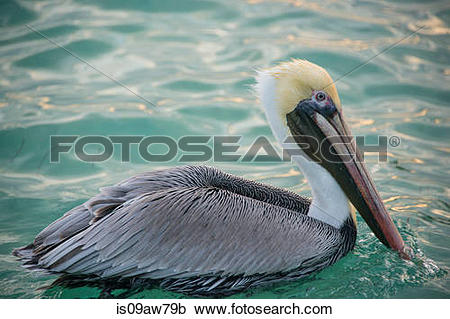 Stock Photography of Brown Pelican (Pelecanus Occidentalis.