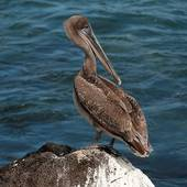 Pictures of Adult brown pelican (Pelecanus occidentalis) on.